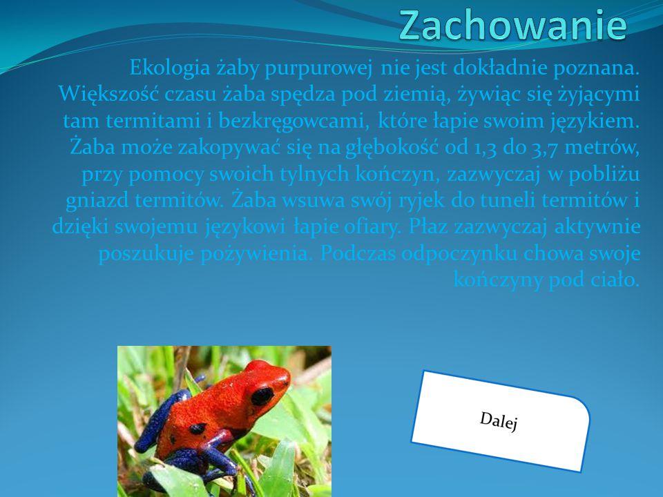 Ekologia żaby purpurowej nie jest dokładnie poznana. Większość czasu żaba spędza pod ziemią, żywiąc się żyjącymi tam termitami i bezkręgowcami, które