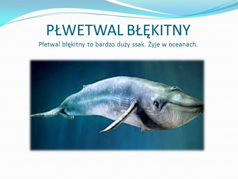 PŁWETWAL BŁĘKITNY Płetwal błękitny to bardzo duży ssak. Żyje w oceanach.