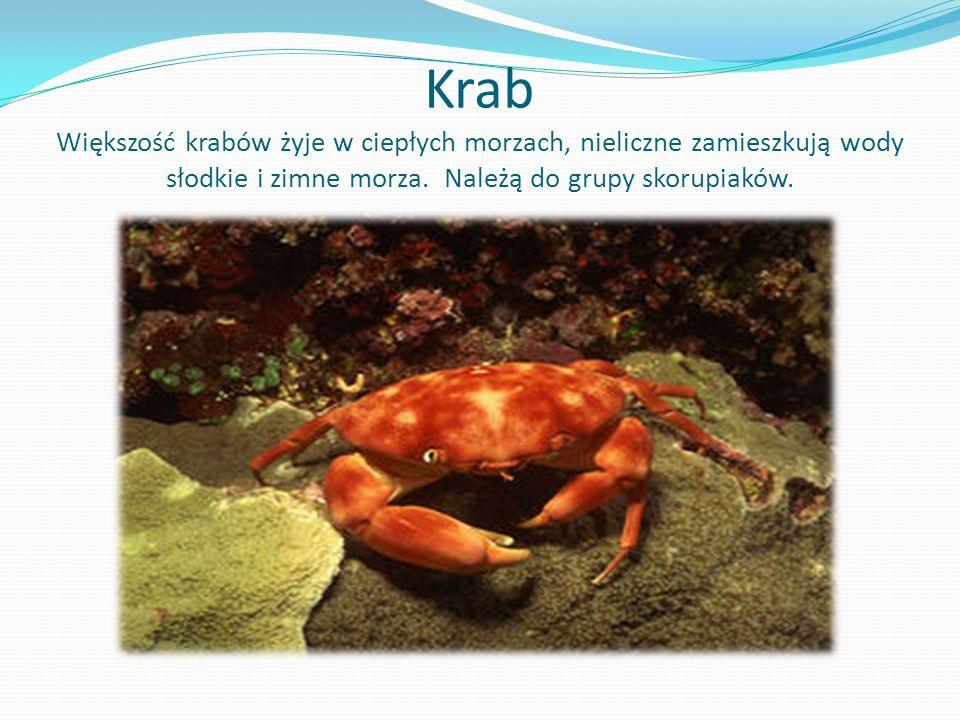 Krab Większość krabów żyje w ciepłych morzach, nieliczne zamieszkują wody słodkie i zimne morza. Należą do grupy skorupiaków.