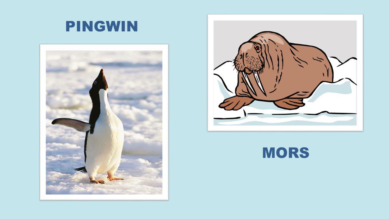 PINGWIN MORS