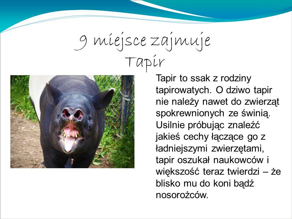 9 miejsce zajmuje Tapir Tapir to ssak z rodziny tapirowatych. O dziwo tapir nie należy nawet do zwierząt spokrewnionych ze świnią. Usilnie próbując zn