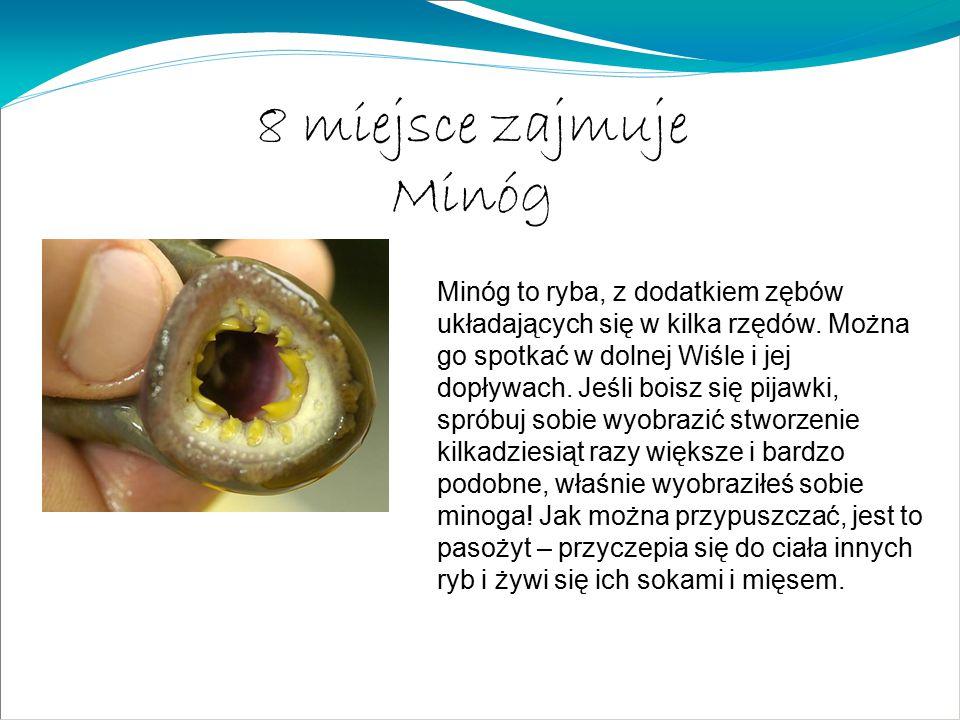8 miejsce zajmuje Minóg Minóg to ryba, z dodatkiem zębów układających się w kilka rzędów. Można go spotkać w dolnej Wiśle i jej dopływach. Jeśli boisz