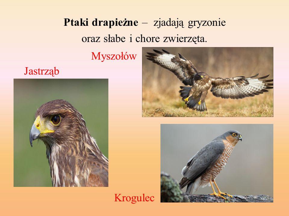 Ptaki drapieżne – zjadają gryzonie oraz słabe i chore zwierzęta. Jastrząb Myszołów Krogulec