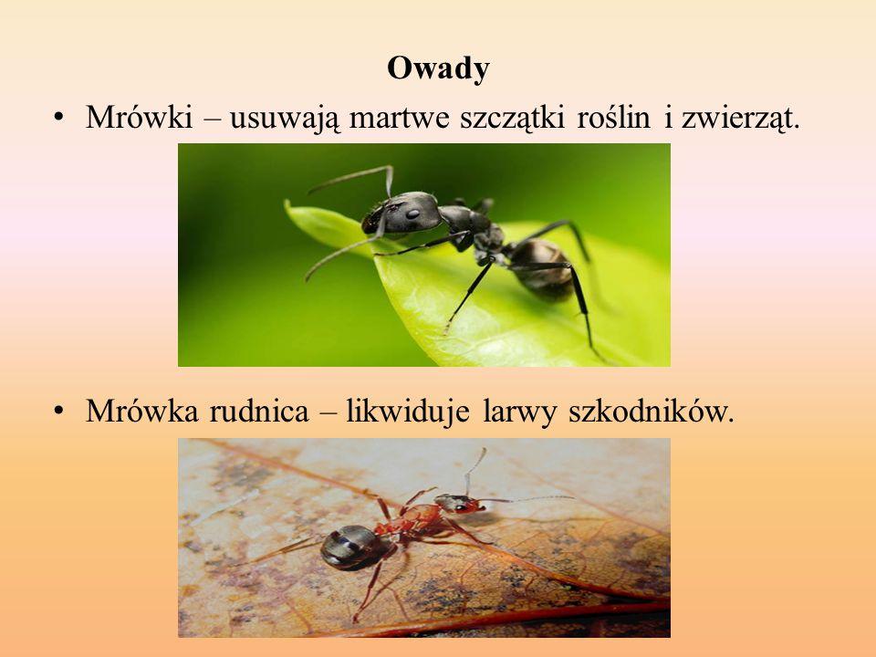 Owady Mrówki – usuwają martwe szczątki roślin i zwierząt.