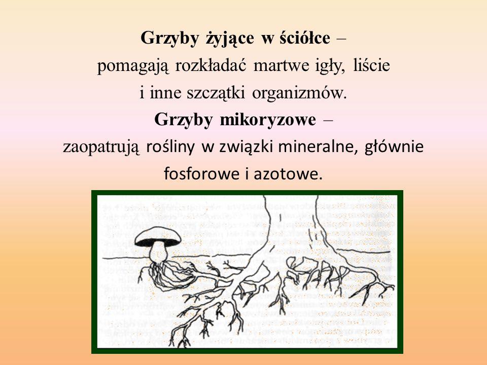 Grzyby żyjące w ściółce – pomagają rozkładać martwe igły, liście i inne szczątki organizmów.