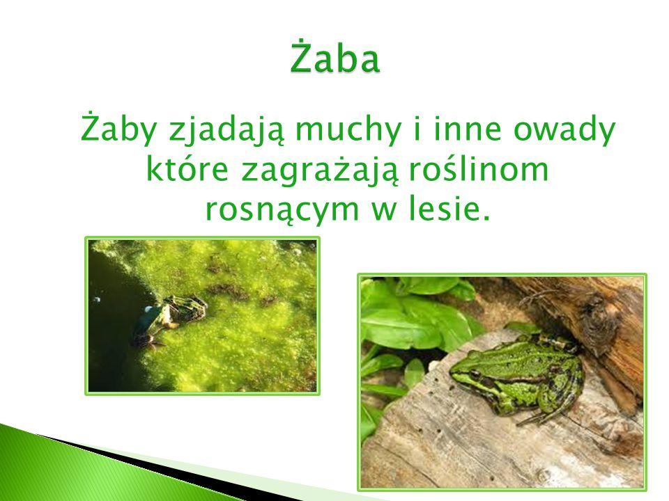 Żaby zjadają muchy i inne owady które zagrażają roślinom rosnącym w lesie.