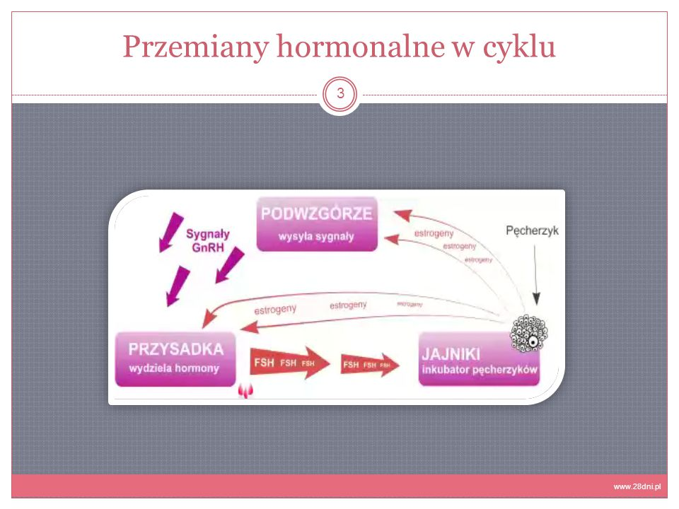 Przemiany hormonalne w cyklu 3 www.28dni.pl