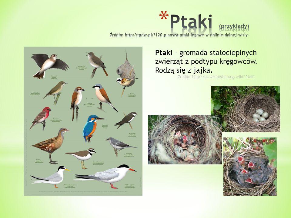 Ptaki - gromada stałocieplnych zwierząt z podtypu kręgowców. Rodzą się z jajka. Źródło: http://pl.wikipedia.org/wiki/Ptaki