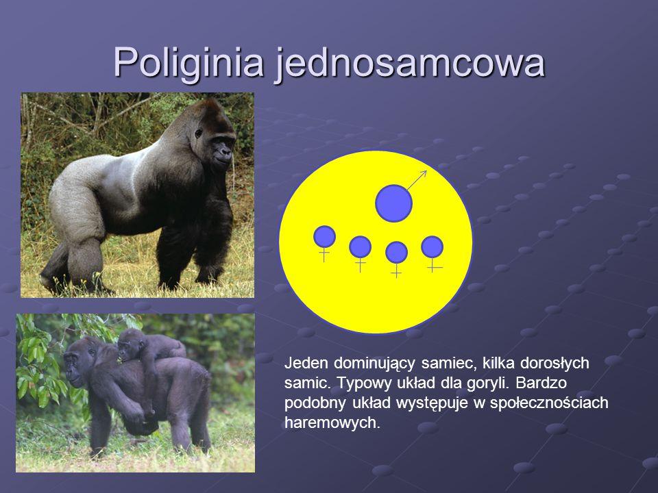 Poliginia jednosamcowa Jeden dominujący samiec, kilka dorosłych samic. Typowy układ dla goryli. Bardzo podobny układ występuje w społecznościach harem