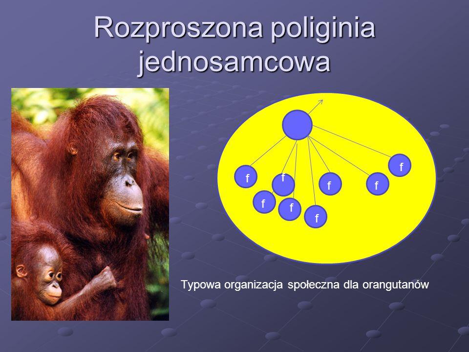 Rozproszona poliginia jednosamcowa f f f f f ff f Typowa organizacja społeczna dla orangutanów