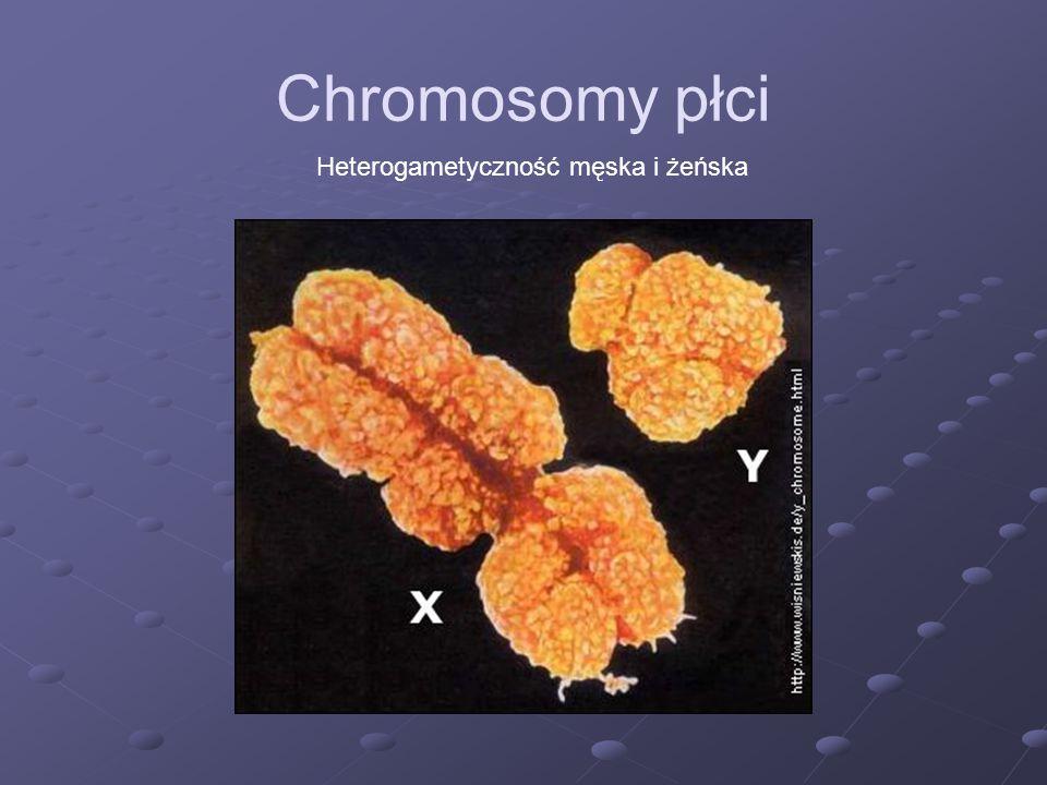 Chromosomy płci Heterogametyczność męska i żeńska