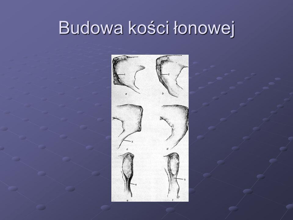 Budowa kości łonowej