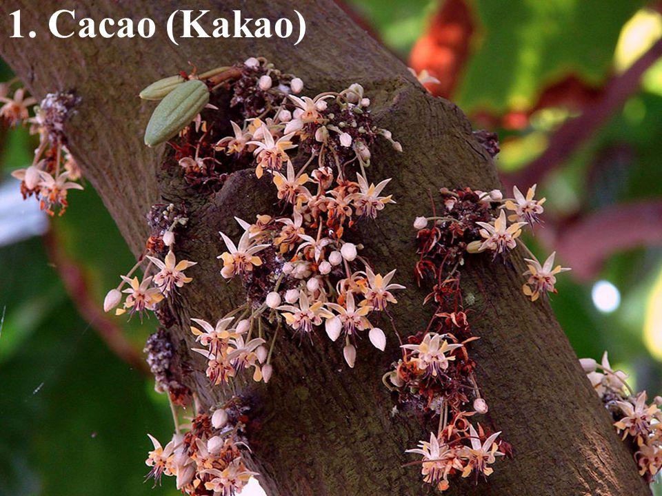 1. Cacao (Kakao)
