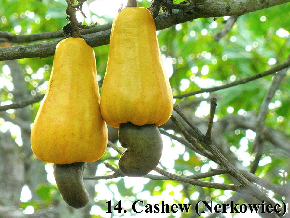 14. Cashew (Nerkowiec)