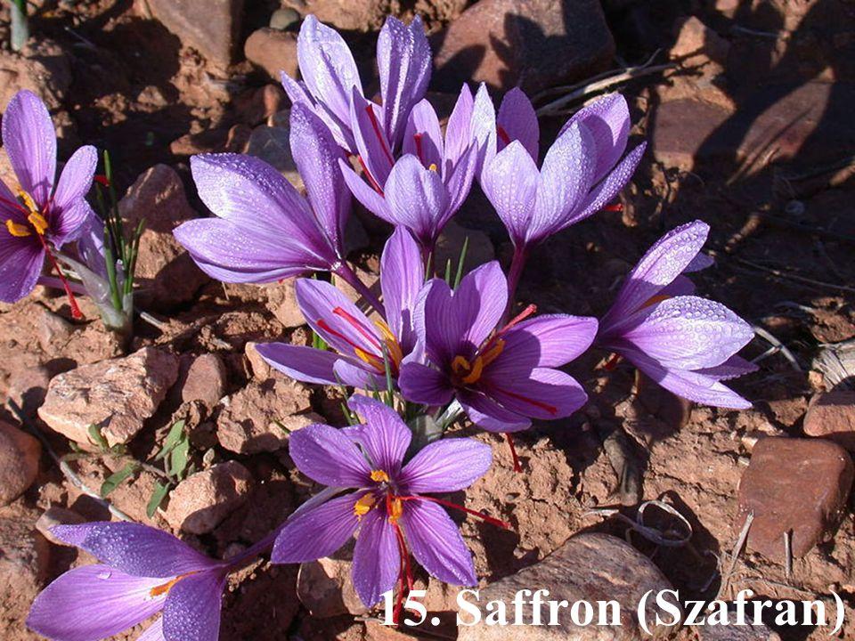 15. Saffron (Szafran)