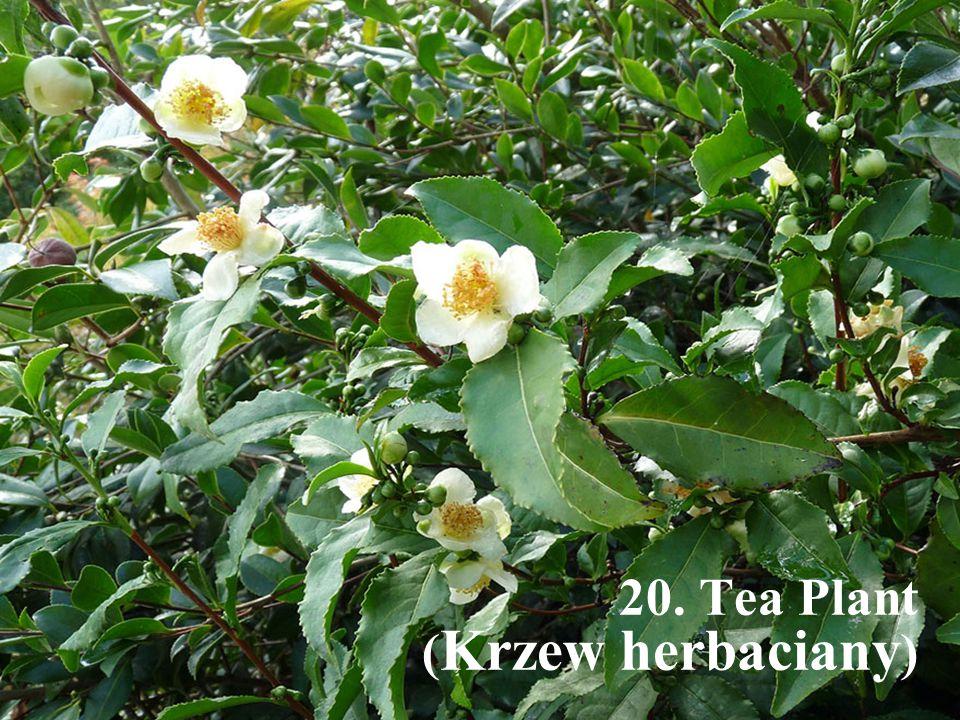20. Tea Plant ( Krzew herbaciany )