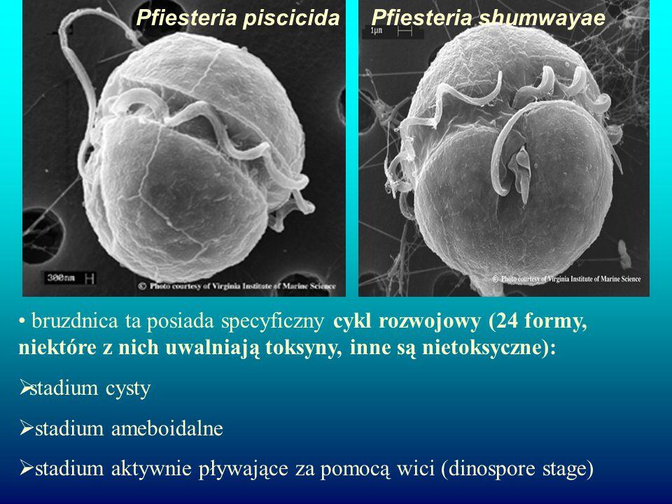 Pfiesteria piscicidaPfiesteria shumwayae bruzdnica ta posiada specyficzny cykl rozwojowy (24 formy, niektóre z nich uwalniają toksyny, inne są nietoksyczne):  stadium cysty  stadium ameboidalne  stadium aktywnie pływające za pomocą wici (dinospore stage)