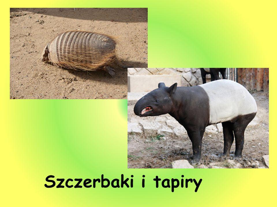 Szczerbaki i tapiry