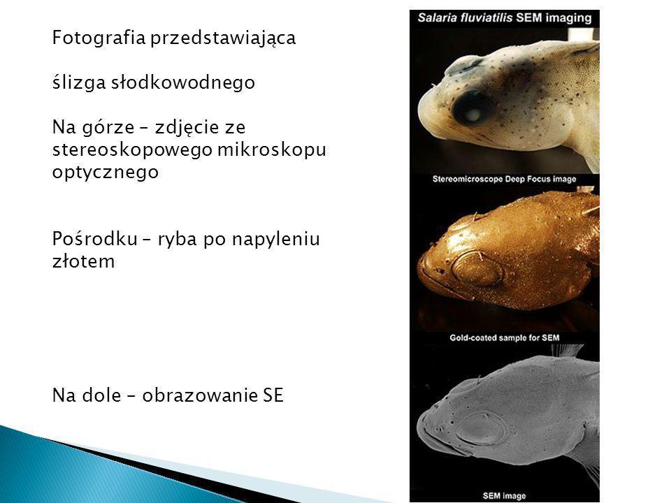 Fotografia przedstawiająca ślizga słodkowodnego Na górze – zdjęcie ze stereoskopowego mikroskopu optycznego Pośrodku – ryba po napyleniu złotem Na dole – obrazowanie SE