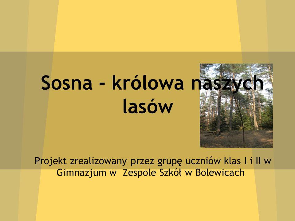 Sosna - królowa naszych lasów Projekt zrealizowany przez grupę uczniów klas I i II w Gimnazjum w Zespole Szkół w Bolewicach