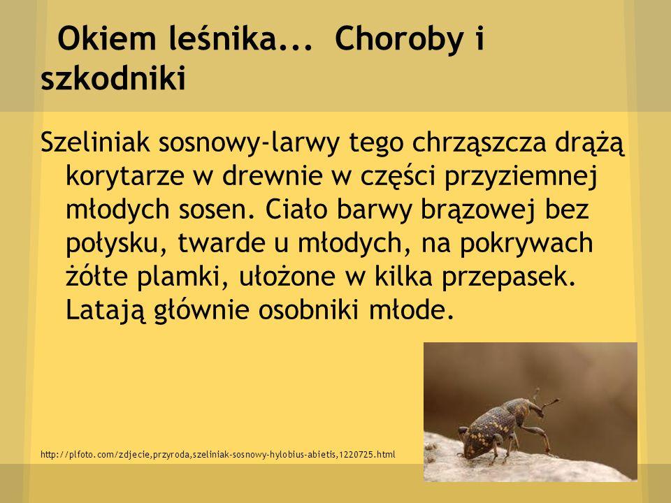 Okiem leśnika... Choroby i szkodniki Szeliniak sosnowy-larwy tego chrząszcza drążą korytarze w drewnie w części przyziemnej młodych sosen. Ciało barwy