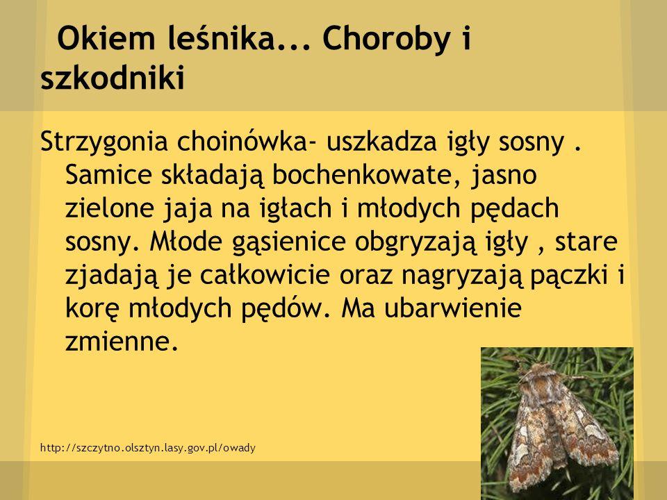 Okiem leśnika... Choroby i szkodniki Strzygonia choinówka- uszkadza igły sosny. Samice składają bochenkowate, jasno zielone jaja na igłach i młodych p
