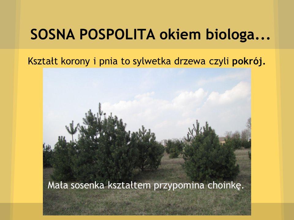 SOSNA POSPOLITA okiem biologa... Kształt korony i pnia to sylwetka drzewa czyli pokrój. Mała sosenka kształtem przypomina choinkę.