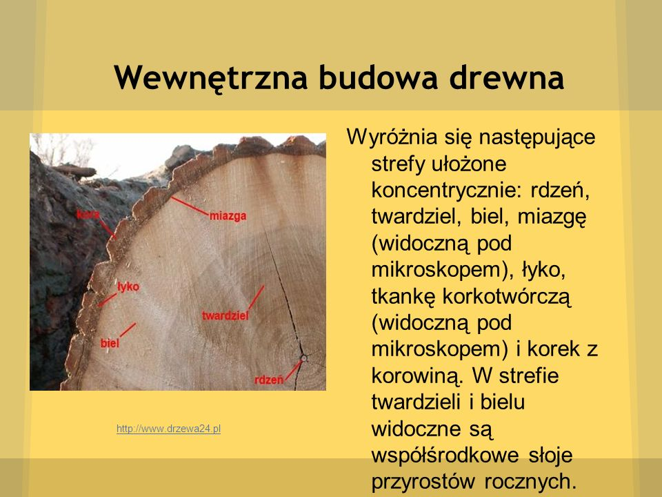 Wewnętrzna budowa drewna Wyróżnia się następujące strefy ułożone koncentrycznie: rdzeń, twardziel, biel, miazgę (widoczną pod mikroskopem), łyko, tkan