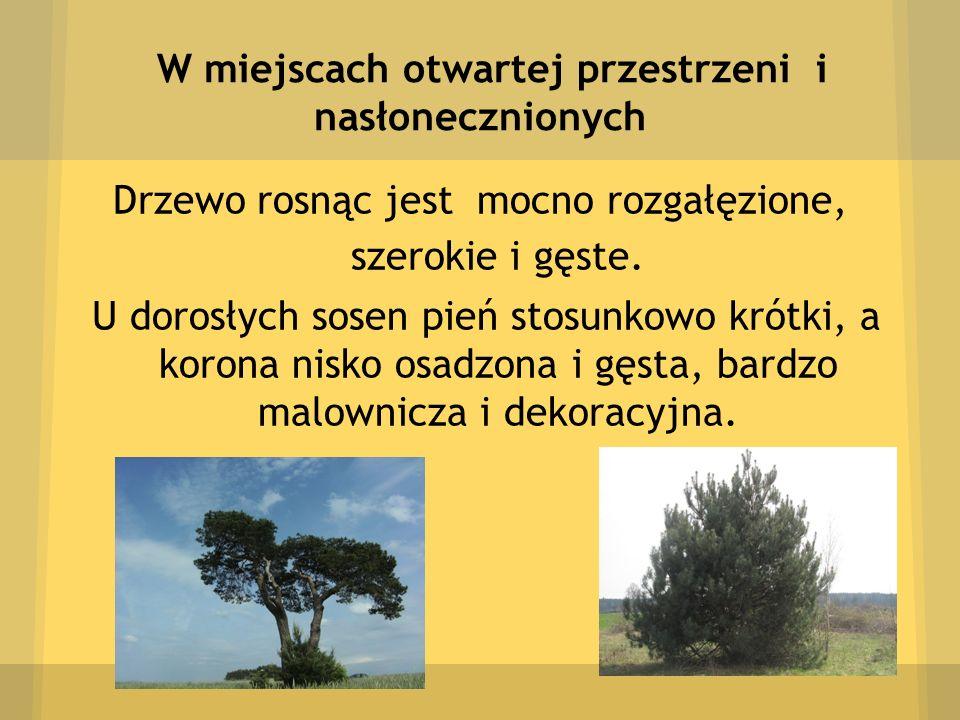 W miejscach otwartej przestrzeni i nasłonecznionych Drzewo rosnąc jest mocno rozgałęzione, szerokie i gęste. U dorosłych sosen pień stosunkowo krótki,