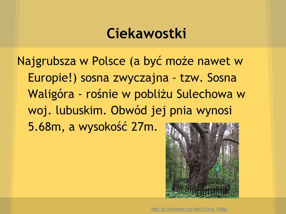 Ciekawostki Najgrubsza w Polsce (a być może nawet w Europie!) sosna zwyczajna - tzw. Sosna Waligóra - rośnie w pobliżu Sulechowa w woj. lubuskim. Obwó