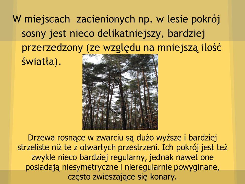 W miejscach zacienionych np. w lesie pokrój sosny jest nieco delikatniejszy, bardziej przerzedzony (ze względu na mniejszą ilość światła). Drzewa rosn
