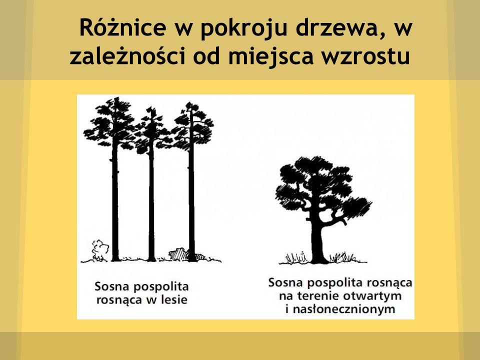 Różnice w pokroju drzewa, w zależności od miejsca wzrostu