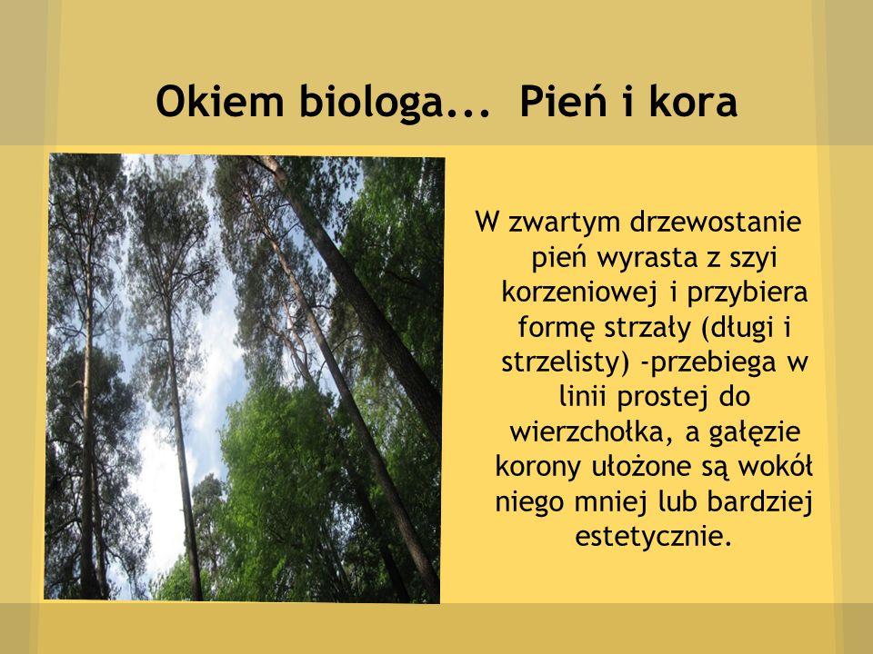 Okiem biologa... Pień i kora W zwartym drzewostanie pień wyrasta z szyi korzeniowej i przybiera formę strzały (długi i strzelisty) -przebiega w linii