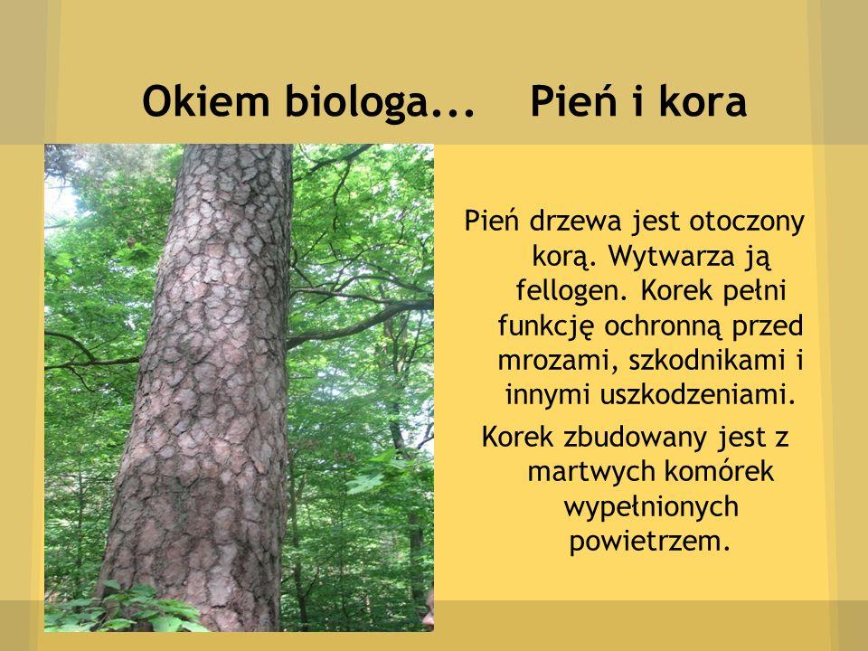 Okiem biologa... Pień i kora Pień drzewa jest otoczony korą. Wytwarza ją fellogen. Korek pełni funkcję ochronną przed mrozami, szkodnikami i innymi us