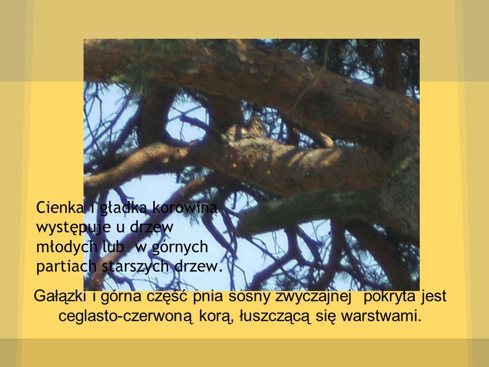 Gałązki i górna część pnia sosny zwyczajnej pokryta jest ceglasto-czerwoną korą, łuszczącą się warstwami. Cienka i gładka korowina występuje u drzew m