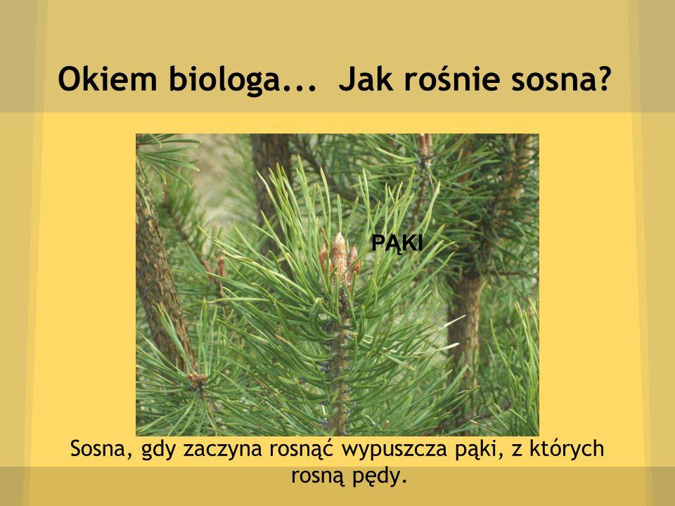 Okiem biologa... Jak rośnie sosna? Sosna, gdy zaczyna rosnąć wypuszcza pąki, z których rosną pędy. PĄKI