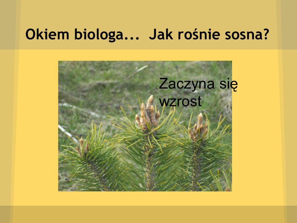 Okiem biologa... Jak rośnie sosna? Zaczyna się wzrost