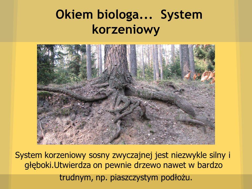 Okiem biologa... System korzeniowy System korzeniowy sosny zwyczajnej jest niezwykle silny i głęboki.Utwierdza on pewnie drzewo nawet w bardzo trudnym