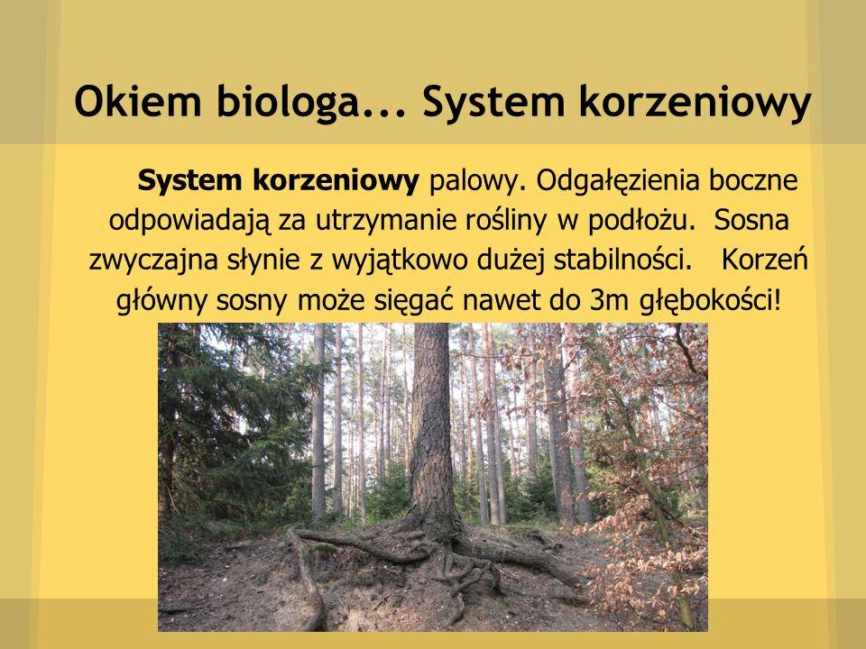 Okiem biologa... System korzeniowy System korzeniowy palowy. Odgałęzienia boczne odpowiadają za utrzymanie rośliny w podłożu. Sosna zwyczajna słynie z