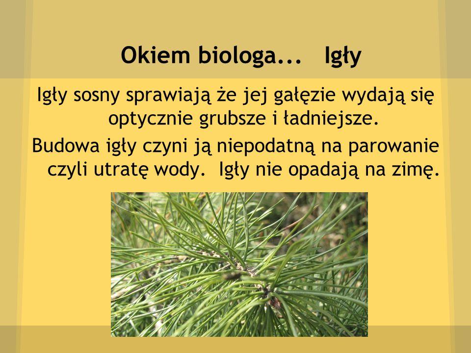 Okiem biologa... Igły Igły sosny sprawiają że jej gałęzie wydają się optycznie grubsze i ładniejsze. Budowa igły czyni ją niepodatną na parowanie czyl