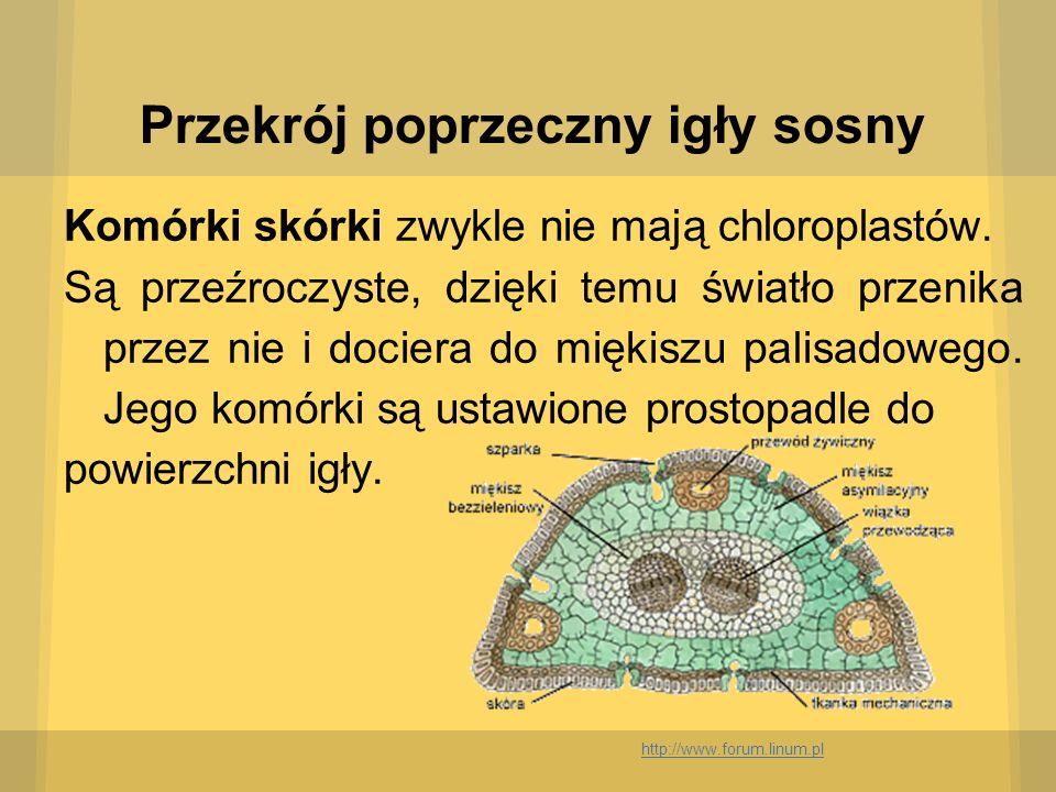 Przekrój poprzeczny igły sosny Komórki skórki zwykle nie mają chloroplastów. Są przeźroczyste, dzięki temu światło przenika przez nie i dociera do mię