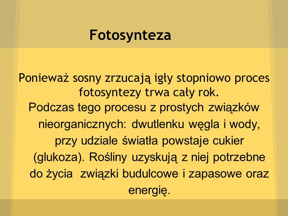 Fotosynteza Ponieważ sosny zrzucają igły stopniowo proces fotosyntezy trwa cały rok. Podczas tego procesu z prostych związków nieorganicznych: dwutlen