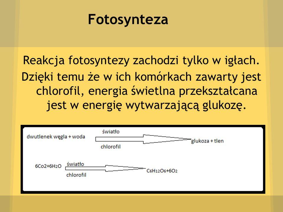 Fotosynteza Reakcja fotosyntezy zachodzi tylko w igłach. Dzięki temu że w ich komórkach zawarty jest chlorofil, energia świetlna przekształcana jest w