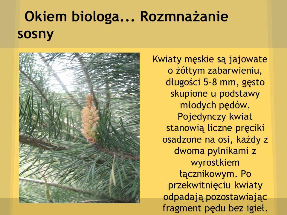 Okiem biologa... Rozmnażanie sosny Kwiaty męskie są jajowate o żółtym zabarwieniu, długości 5–8 mm, gęsto skupione u podstawy młodych pędów. Pojedyncz