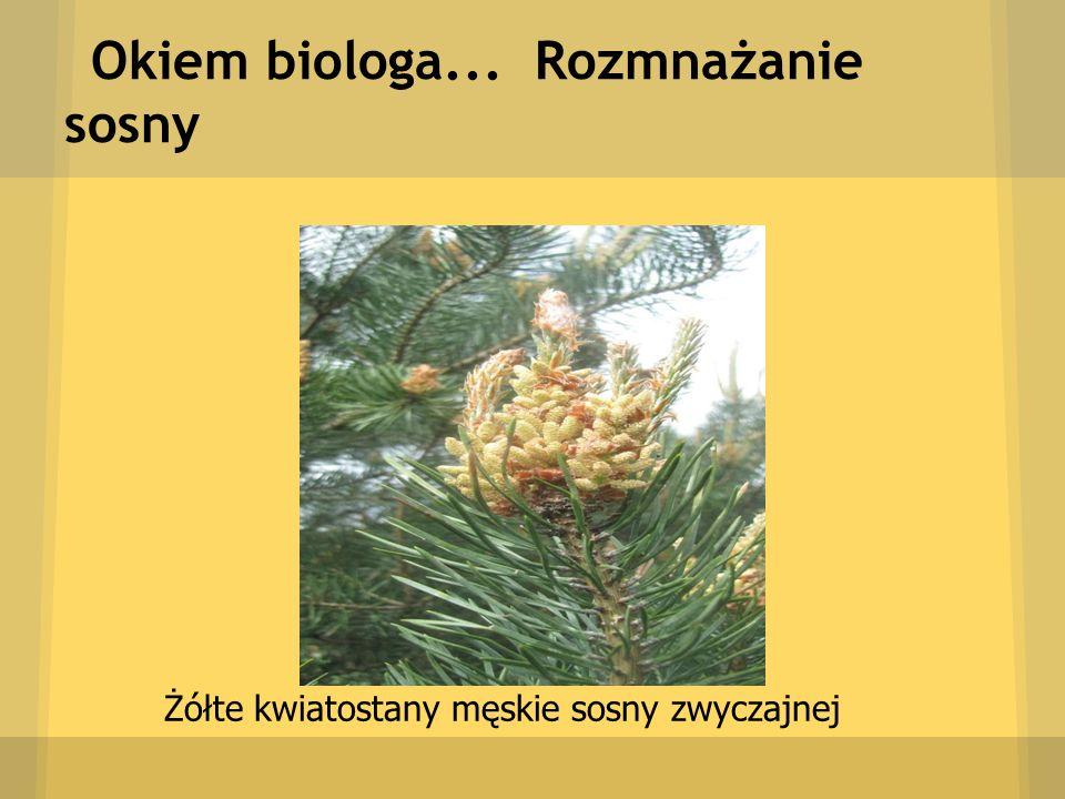 Okiem biologa... Rozmnażanie sosny Żółte kwiatostany męskie sosny zwyczajnej