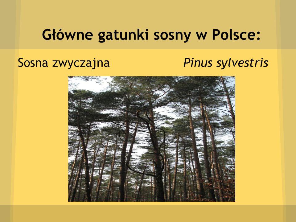 Główne gatunki sosny w Polsce: Sosna zwyczajna Pinus sylvestris