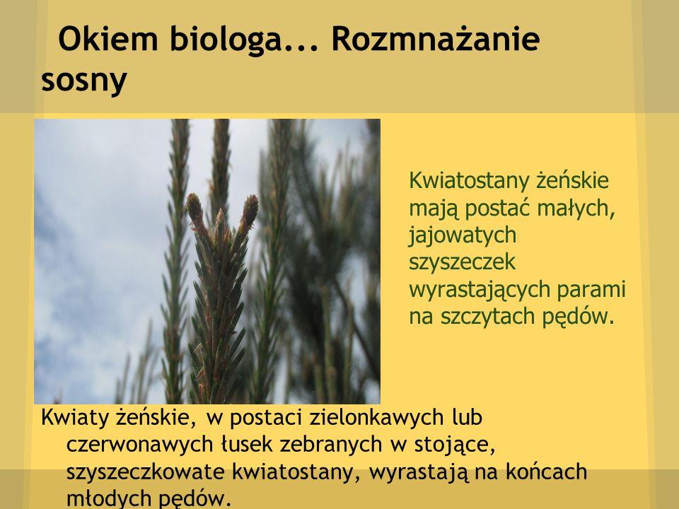 Okiem biologa... Rozmnażanie sosny Kwiaty żeńskie, w postaci zielonkawych lub czerwonawych łusek zebranych w stojące, szyszeczkowate kwiatostany, wyra