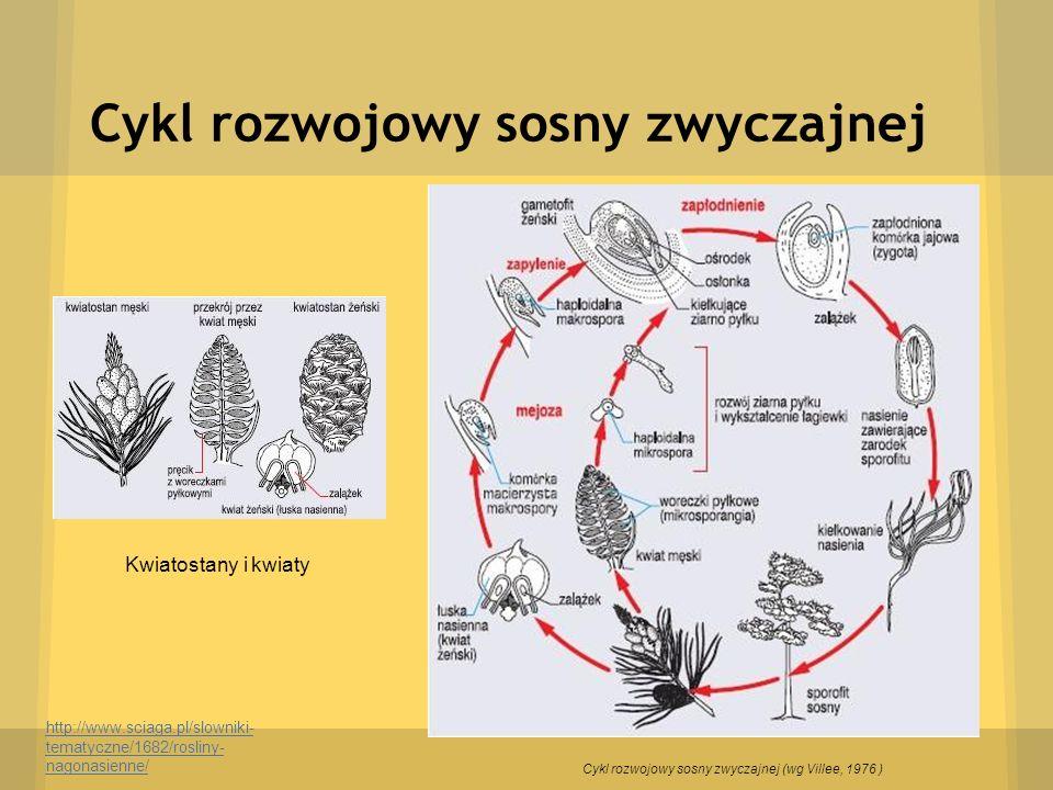 Cykl rozwojowy sosny zwyczajnej http://www.sciaga.pl/slowniki- tematyczne/1682/rosliny- nagonasienne/ Kwiatostany i kwiaty Cykl rozwojowy sosny zwycza