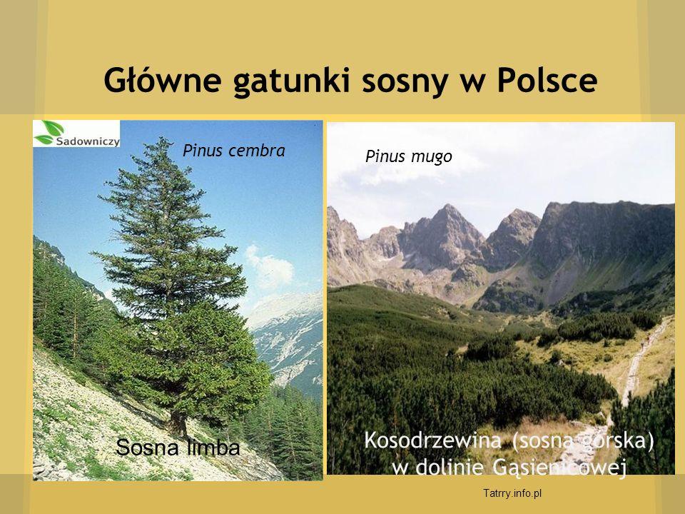 Główne gatunki sosny w Polsce Sosna limba Kosodrzewina (sosna górska) w dolinie Gąsienicowej Tatrry.info.pl Pinus cembra Pinus mugo