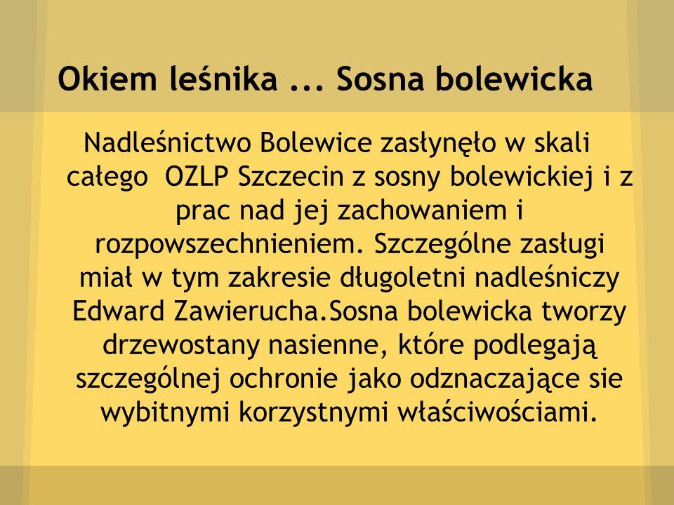 Okiem leśnika... Sosna bolewicka Nadleśnictwo Bolewice zasłynęło w skali całego OZLP Szczecin z sosny bolewickiej i z prac nad jej zachowaniem i rozpo